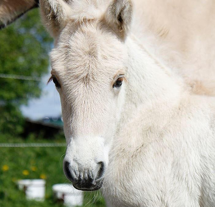 Konservering av genmateriale – langtidslagring av hingstesæd av dei nasjonale hesterasene